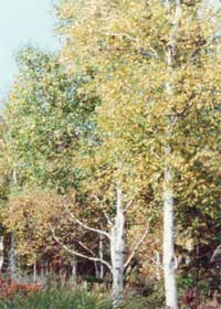 自然園のシラカバ