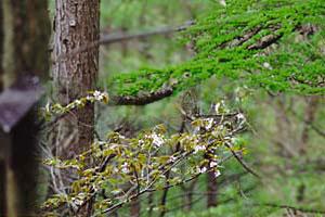 山桜とカラマツ